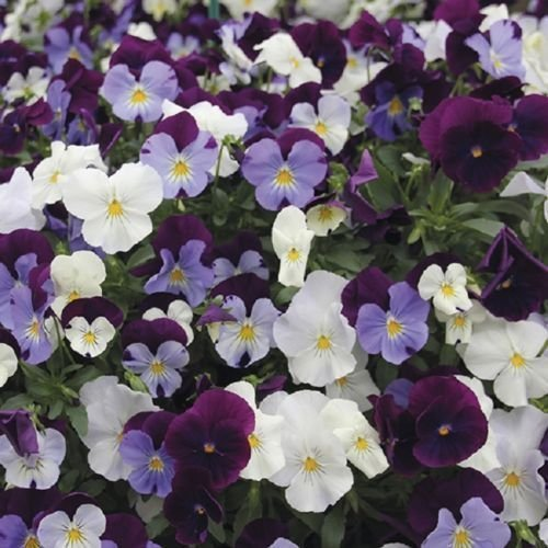 CooL-WAVE-Pansy-Seeds-BERRIES-N-CREAM-Mixture-Trailing-Hanging-Baskets-NEW