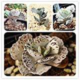 Flower Perennial - 100 Pcs Rare Kalanchoe Marmorata Bonsai Perennial Potted Plant Succulent Plants for DIY Home Garden (It is Seed not Plant) - by Abuldahi