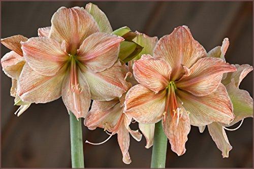 Amaryllis Exotica - 1 bulb - 30/32 cm