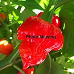 BONDA MA JACQUES - very hot; Habanero Elongated Type; 2 to 2.25 inches long by 1 to 1.25 inches wide; medium thick flesh; matures from green to yellow; pendant pods; green leaves; 24 to 30 inches tall; Late Season (80-90 days); from Guadelupe...