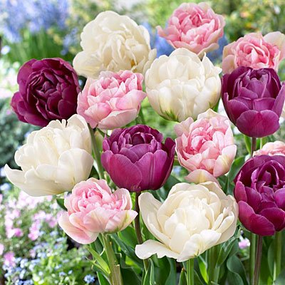Image of Double Late Mix Tulip 15 Bulbs - 12/+ cm Bulbs