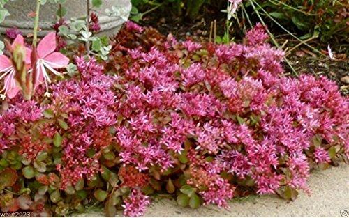 Sedum Green Roof - 50 Seeds Sedum Seeds - Purple Carpet- (Spurium Coccineum) , Succulent Ground-cover !