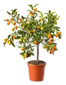 Naranjo enano - Kumquat. Árbol Cítrico Natural