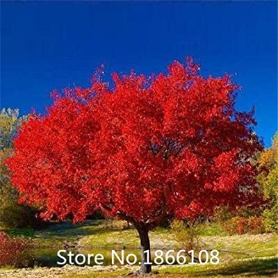 home & garden 50 SEEDS/PACK JAPANESE RED MAPLE TREE WITH HERMETIC PACKAGE * VERY BEAUTIFUL * JAPAN MAPLE NEW SEEDS * PLUS MYSTER
