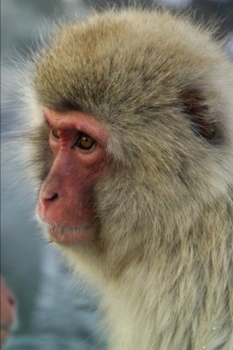 Portrait of a Japanese Macaque Monkey Journal: 150 Page Lined Notebook/Diary (Monkey Macaque)