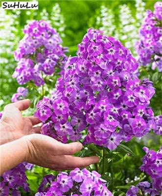 AGROBITS ¡Venta! 200 Planta de Bonsai PC Phlox flor al aire libre para jardín plantas en flor, China La mayoría de las flores más populares planta trepadora: K: Amazon.es: Jardín