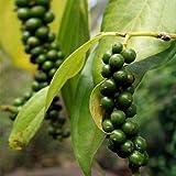 Plant World Seeds - Piper Nigrum Seeds