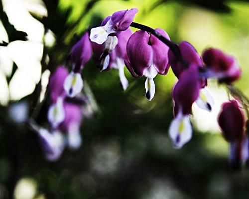 Dicentra Spectabilis Seeds ★ BLEEDING HEART ★ SAVE $$$ 4 BEST SELLERS ★ 40 Seeds