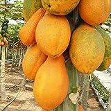 Fedi Apparel 20 Grains/Pack Florida Red Royale Papaya Seeds Tropical Fruit Tree for Home Garden