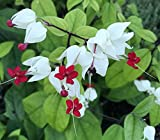 Bleeding Heart Vine Clerodendrum thomsoniae Live Starter Plant END007