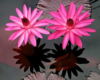 Red Flare Water Lily 10 Seeds -Nymphaea- Night Blooming