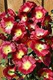 Hollyhock Seeds - HALO RED & YELLOW - Butterly Favorite - Alcea - 25 Seeds