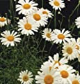 500 Pyrethrum Seeds Daisy Seed Kill Bugs Insects Natural Mosquito Repellent Easy to Grow Herb Seeds Home Potted Heirloom Seed Garden Decoration Bonsai Plants Seed
