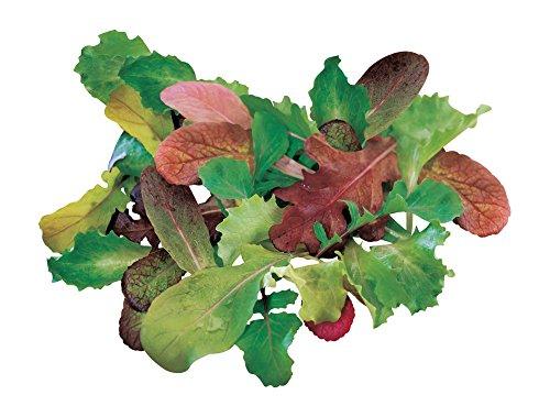 Burpee Salad Mix Mesclun Seeds 1800 seeds