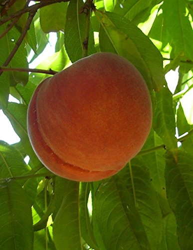 O'Henry Freestone Peach Tree Shipped in Soil, Five Gallon Container by Burchell Nursery