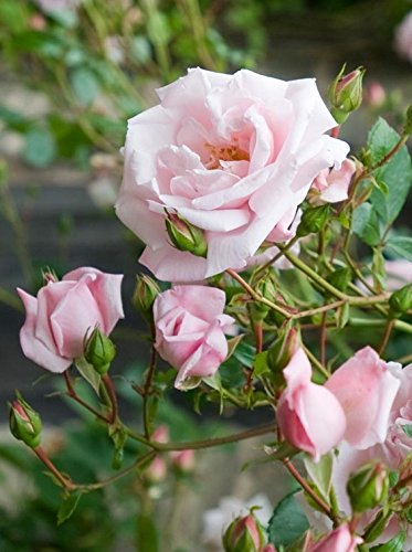 Amazon rosa new dawn climbing rose rose double blush pink rosa new dawn climbing rose rose double blush pink flowers mightylinksfo