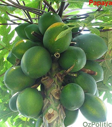 Fruit seeds RARE 10 Seed Dwarf hovey Papaya Tree Plant Container bonsai tree for home garden plant delicious fruit