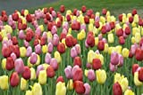 50 Fruit Punch Tulip Bulbs - Super-sized X-tra Value Bag!!