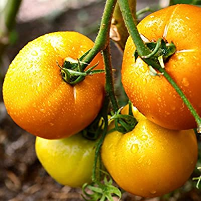 Tomato Garden Seeds - Sunny Boy Hybrid - Non-GMO, Vegetable Gardening Seed