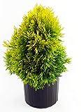 Thuja plicata Forever Goldy (Western Arborvitae) Evergreen, 3 - Size Container