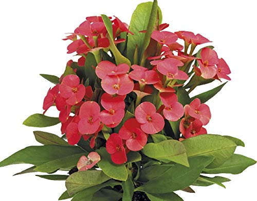 "Vulkanus Crown of Thorns - Good Luck Plant - Euphorbia Maxi - 3"" Pot"