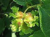 Corylus americana | American Hazelnut | 10_Seeds