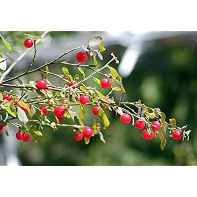 1 Packet of 30 Seeds Red Huckleberry Shrub - Ericales Plantae : Garden & Outdoor