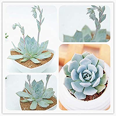 100 Pcs/Pack Echeveria Desmetiana Bonsai Rare Succulent Plant Echeveria Peacockii Bonsai DIY Home Garden Easy to Grow : Garden & Outdoor