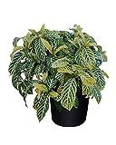 PlantVine Sanchezia speciosa - Large - 8-10 Inch Pot (3 Gallon), Live Plant