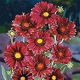30+ Burgundy Silk Gaillardia Flower Seeds / Perennial