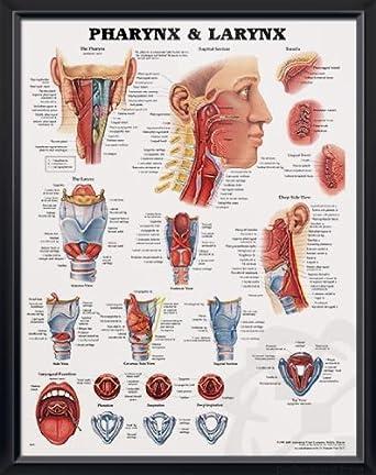 Amazon Pharynx Larynx Deupair 20x26 Pocket Frame Human