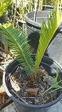 "Sago Cycad Revoluta Palm Tree Live Plant Cycas 10""-16"" Bare Root Trunk"