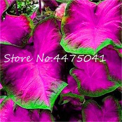 Kasuki 150 Pcs Multiple Colour Thailand Caladium Bonsai of Perennial Rainbow Flower Garden Potted Plant Caladium DIY Home Garden Plant - (Color: 3) (Caladium Plant)