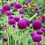 Globe Amaranth Seeds, Purple, Heirloom Flower Seeds, Very Unusual Flowers, 50ct