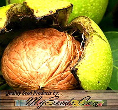 Cutdek Paradox Black Walnut - Juglans x Paradox - Tree Seeds - Fast Growing Variety is Hardy to Zone 8, Choose from 5 or 25 (Big Pack - 25 Seeds) (Growing A Black Walnut Tree From Seed)