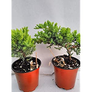 "Jmbamboo – Two Tree Bonsai Juniper Garden 4"" Pot with Fishman"