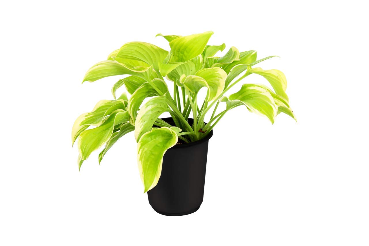 The Three Company Beautiful Live Flowering 7'' Hosta ((4 Per Pack), 7'' Pot Size, Assorted Colors by The Three Company (Image #5)