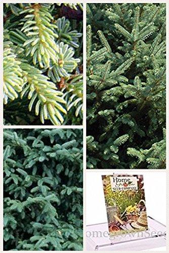 Homegrown Spruce Seeds, Bulk Seeds, Dragon Spruce Tree, Quantity (100)