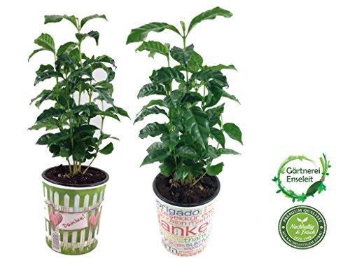 Echter Kaffee (Kaffeepflanze), coffea arabica, im 2er Set, jeweils im 12cm Topf