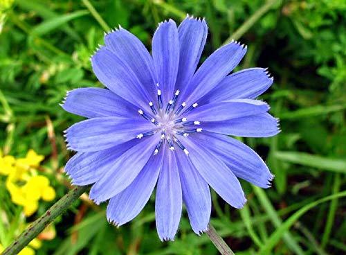 Chicory Wildflower Seeds, 4 Oz, Over 100,000 Seeds