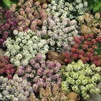 Outsidepride Alyssum Paletta Mix - 5000 (Alyssum Plants)