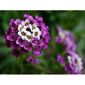 Royal Carpet Alyssum Seeds - 500 mg