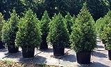 Japanese Cedar Cryptomeria Yoshino Plant #BG01