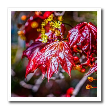 Amazon 3drose alexis photography seasons spring red leaves 3drose alexis photography seasons spring red leaves and flowers of a schwedler maple tree mightylinksfo