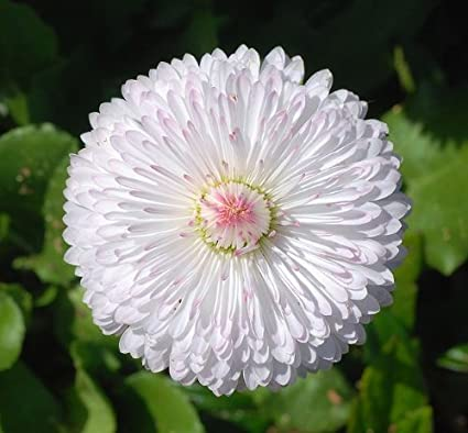 ddc234241333 Amazon.com   500 DWARF WHITE ENGLISH DAISY Bellis Perennis Flower Seeds    Flowering Plants   Garden   Outdoor