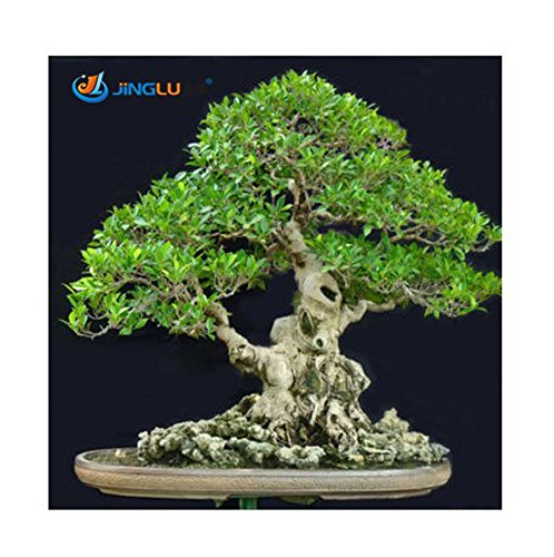 fino shop Green Island Fig ( Ficus Microcarpa) - 10 Seeds Bonsai / Feature