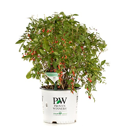 Sweet Lifeberry Goji Berry (Lycium) Live Shrub, Purple Flowers and Red Fruit, 3 Gallon