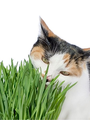 Rex Cat Grass Wheat Seeds 1 LB(13,500+Seeds)-Easy Grow Greens for Your Pet's ! (Love Survives All Dogs Go To Heaven)