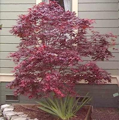 Japanese Red Maple 20 Seeds/Seed - Acer