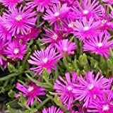 25 Seeds -Ice Plant Table Mountain Flower Seeds (Delosperma Cooperi)
